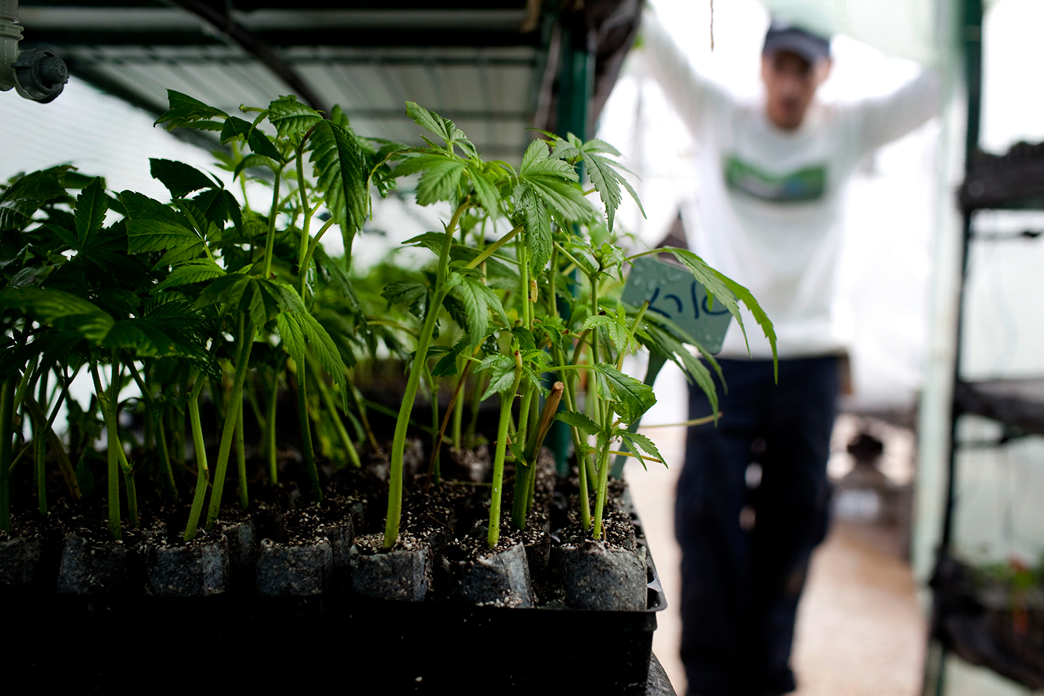 Why Are Feds Targeting High-End Pot Producers in California