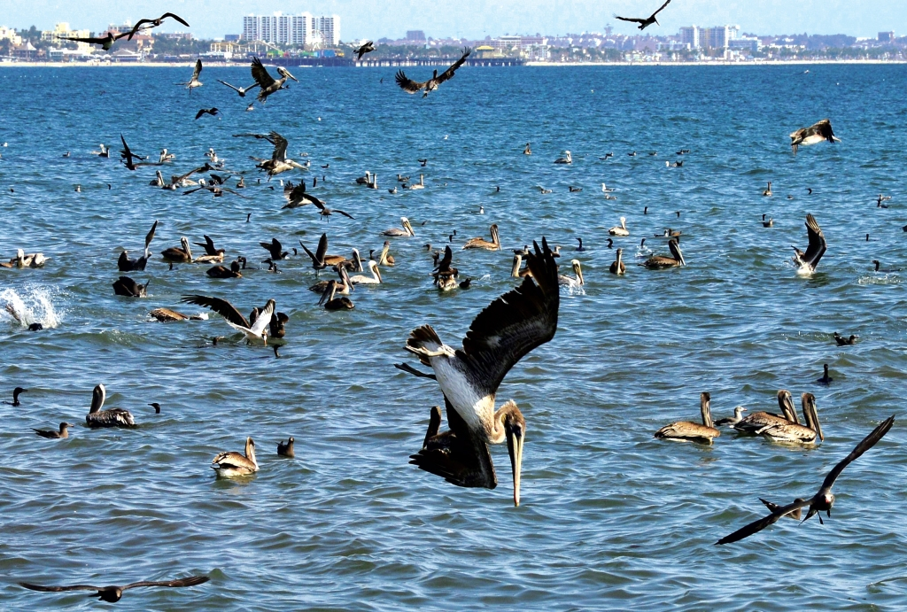 A Picture Available 12 September 2013 Shows a Brown Pelican Diving For Food As Thousands Gathered Along the Coast to Follow a School of Fish in Santa Monica Bay Near Pacific Palisades California Usa 10 September 2013 the Brown Pelican Which was Threatened by Ddt Insecticide in the 1970ties is Protected by the Migratory Bird Treaty Act and is Now No Longer Threaten It is Only One of Three Pelicans Species Found in the Western Hemisphere and Can Be Found From South American to Canada United States Pacific PalisadesUsa California Animals Brown Pelican - Sep 2013