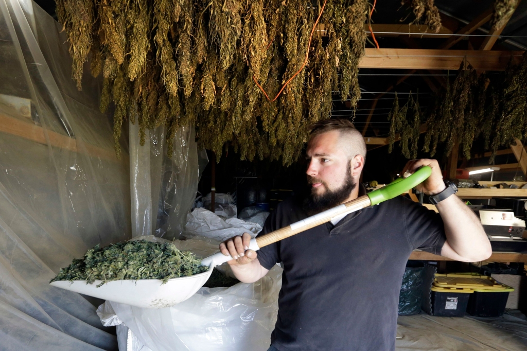 Trevor Eubanks, plant manager for Big Top Farms, shovels dried hemp as branches hang drying in barn rafters overhead at their production facility near Sisters, Ore. A glut of legal marijuana has driven pot prices to rock-bottom levels in Oregon, and an increasing number of nervous growers are pivoting to another type of cannabis to make ends meet--hempMarijuana to Hemp CBD Boom, Sisters, USA - 23 Apr 2018