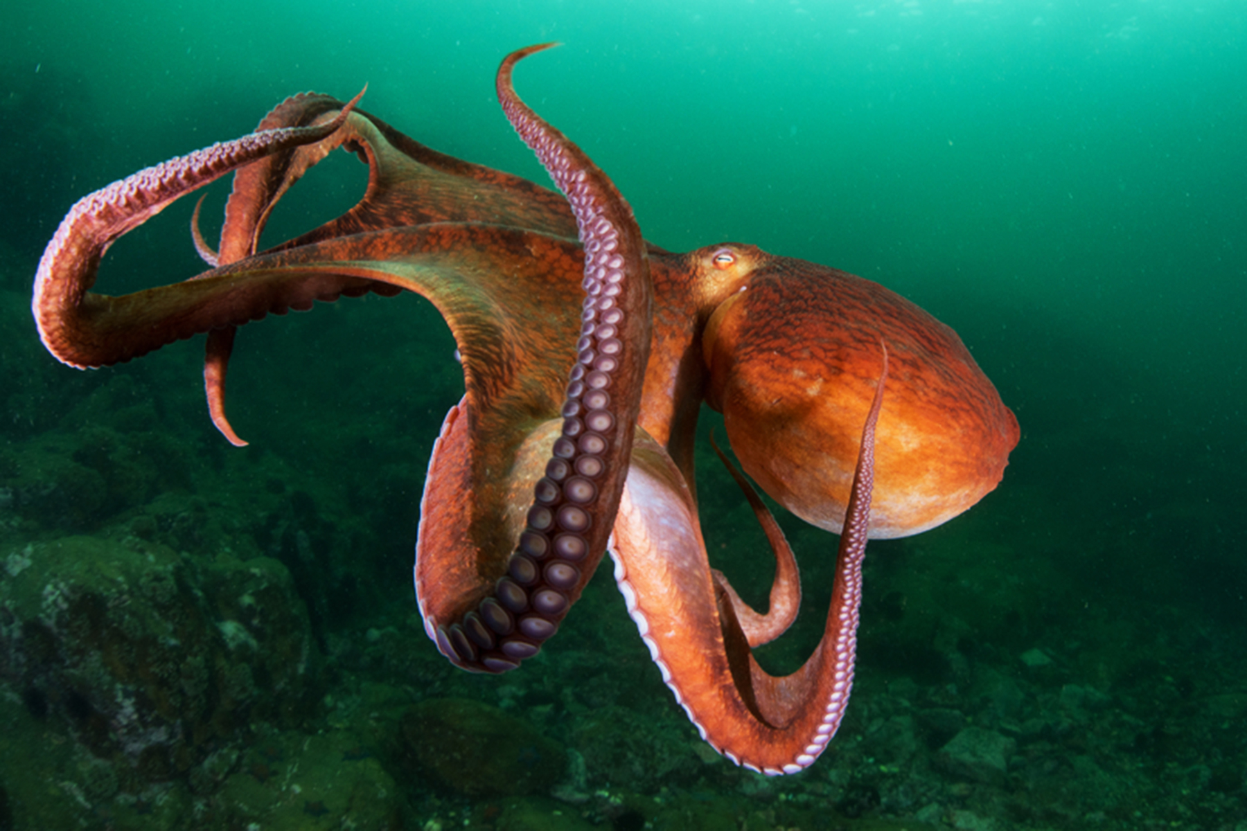 octopuses got high on mdma for science rolling stone