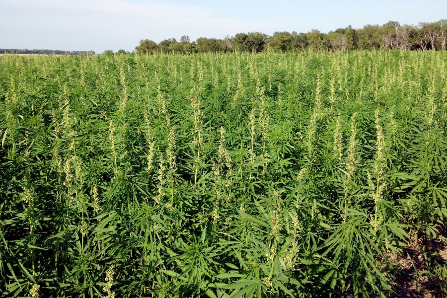 CBD Poised for Boom After Farm Bill – Rolling Stone