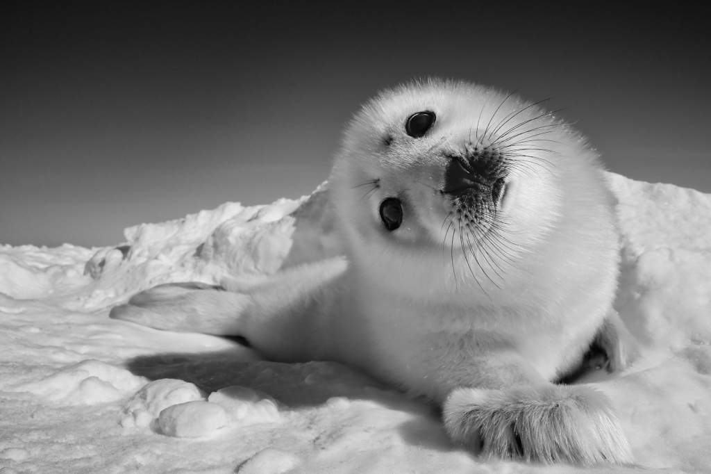 """A week-old harp seal on the Magdalen Islands, where they give birth on the ice before migrating further north to feed on cod. But """"when there's no ice, you get no birth of seals,"""" says Nicklen."""