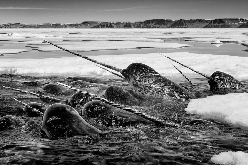 """Narwhals are """"incredibly shy and elusive,"""" says Nicklen, who tried for six years to photograph them before flying an ultralight plane and landing it on a drifting ice pad to get this shot. """"It was an incredible moment."""""""