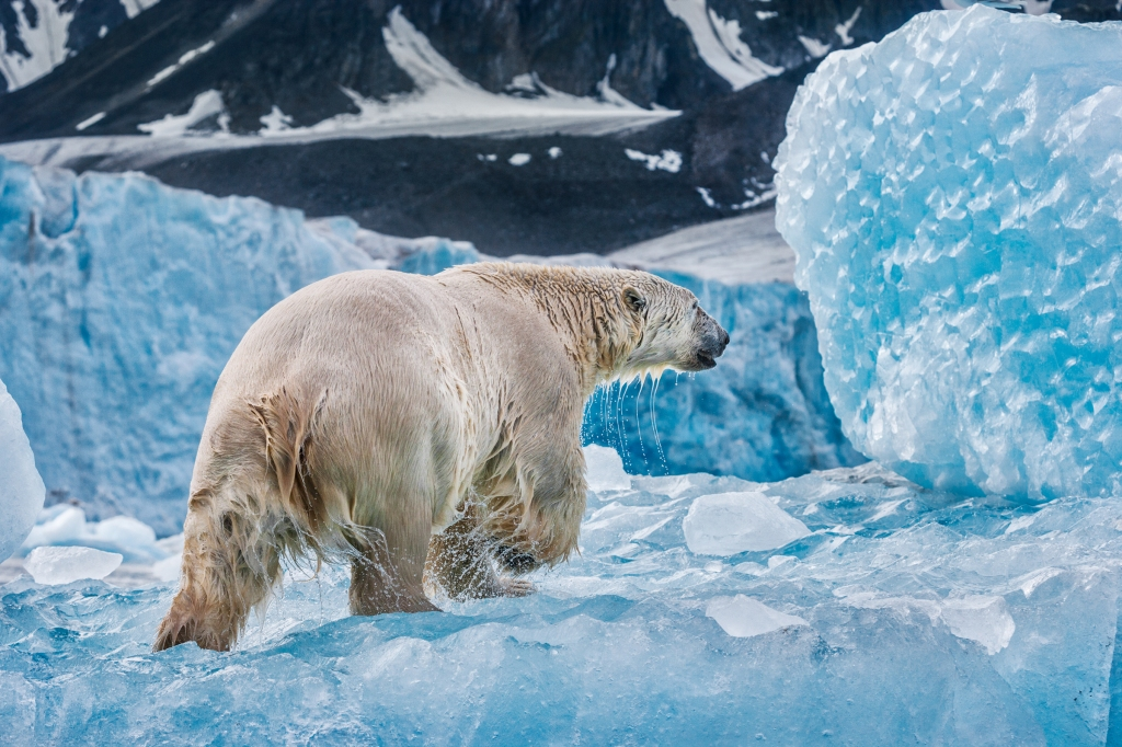 """Polar bears live primarily on seals and walruses. """"I've even seen them eat a beluga whale that they caught and dragged on the ice,"""" Nicklen says. """"It was impressive."""""""