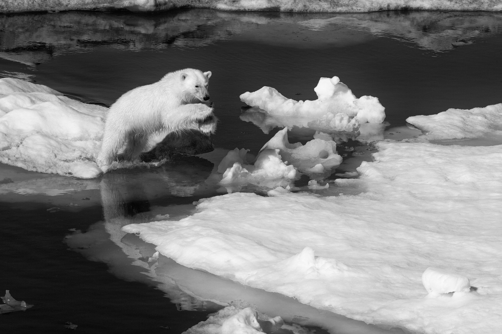 """Paul Nicklen is different from the rest of us. He likes to swim in 29-degree water beneath the Arctic ice, alone, in search of potentially predatory animals. Which can sometimes get him into trouble, like when he was nearly body-slammed by a 7,000-pound elephant seal. """"The only thing, almost ever, that can kill you is panic,"""" he says. """"It's not that I'm willing to die. I think that I'm just not scared."""" A marine biologist and wildlife photographer with more than 20 National Geographic assignments and 5.2 million Instagram followers to his credit, Nicklen grew up in Canada's far-north Nunavut province and lived in the Arctic on and off for 25 years. """"Being around big animals and nature and the cold and diving and ice is definitely my comfort zone,"""" says Nicklen, 50. """"To have a 25-foot-long massive male killer whale come within two feet of me in the middle of a feeding frenzy is very calming to me. It's beautiful."""" Pictured: A polar bear in Svalbard, Norway. Some scientists fear a third of the species may be gone by 2030."""