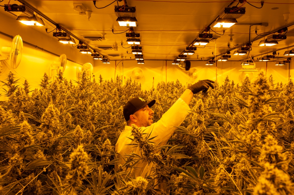 CannaCraft uses about 140,000 pounds of weed per year to make the oil for its products.