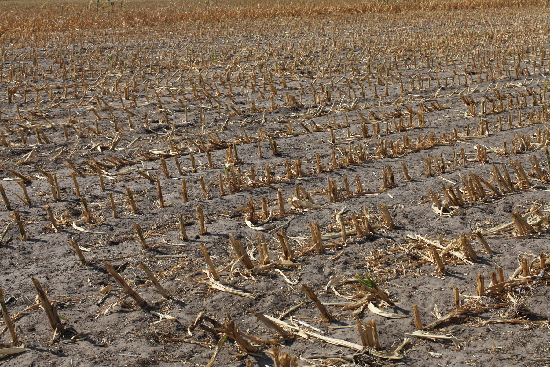 The stubs of corn stalks that were chopped down because heat and lack of rain ruined the crop, litter a field in Nebraska. 2012 saw the highest recorded temperatures in American history. Over the summer most of the mid-west experienced a tremendous drought, where hot weather and the lack of rain destroyed crops and grazing land. In the high plains of Western Nebraska's cattle lands, this created ideal conditions for wild fires, which spread across the land sparked by single bolts of lightning. (Photo by Andrew Lichtenstein/Corbis via Getty Images)