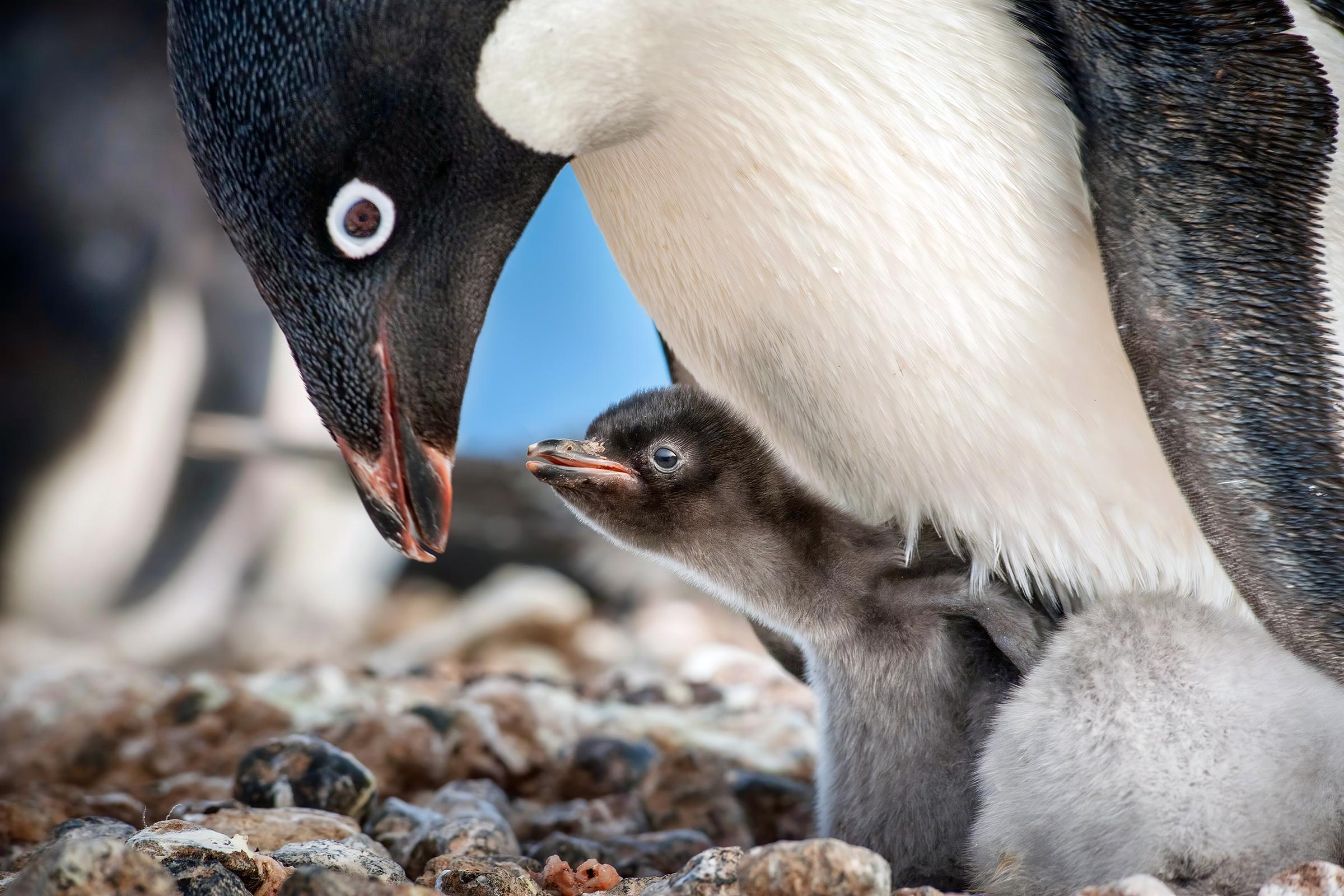 'Penguins' Review: Disney's Nature Doc Celebrates Our Furry Flightless Friends