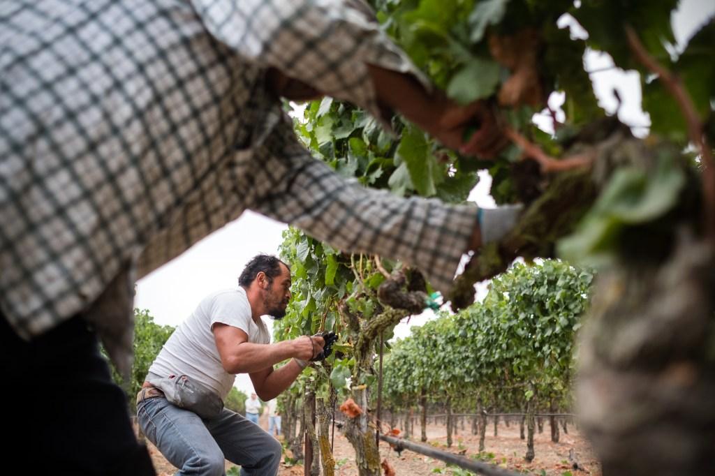 Rene Reyes working in a Napa Valley vineyard.