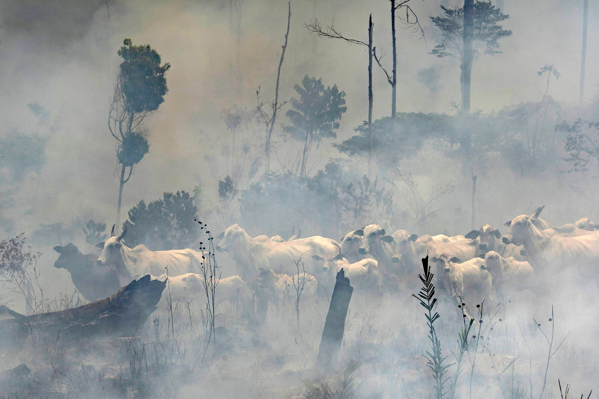 A herd of cattle stand in the midst of smoke from the fires at the Nova Fronteira region in Novo Progresso, Brazil, . Brazilian President Jair Bolsonaro sent the military to help extinguish some fires. Last week, he passed a decree banning most fires for land-clearing for a period of 60 days, although he later limited the ban to the AmazonAmazon Fires, Novo Progresso, Brazil - 03 Sep 2019