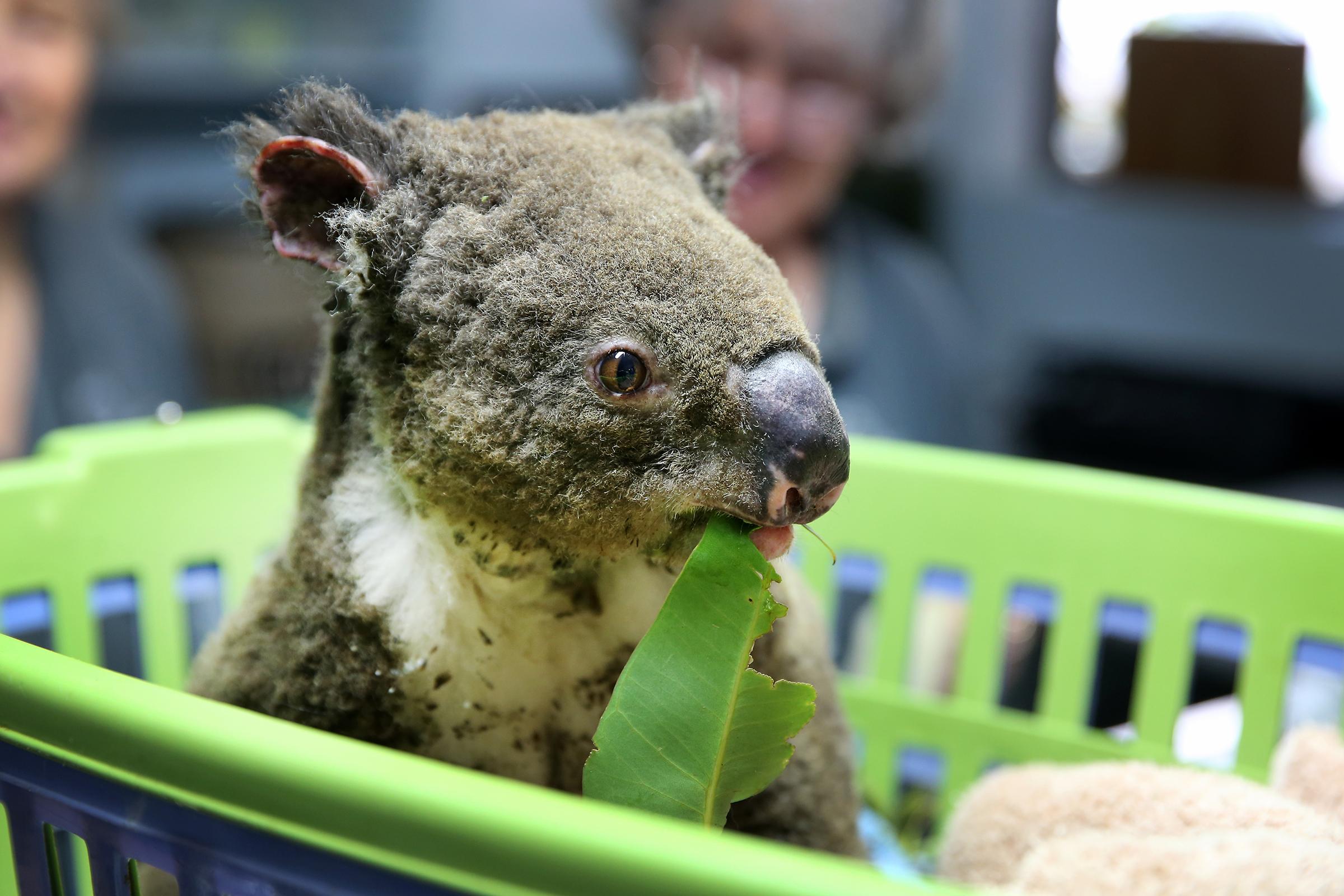 Australian Bushfires Have Killed Thousands Of Koalas Rolling Stone