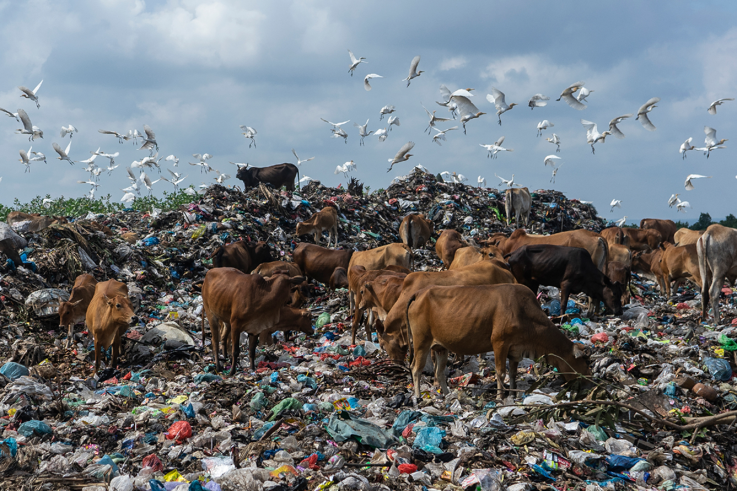 LHOKSEUMAWE, ACEH, INDONESIA - 2020/01/14: Cows and egrets look for food at a landfill in Lhokseumawe, Aceh province.The World Bank report shows that around 105 thousand metric tons of municipal waste are produced in Indonesia every day. This figure is expected to increase by 150 thousand tons by 2025. Poorly managed municipal waste will enter waterways and eventually become a problem for the Indonesian oceans. Analysis conducted by the World Bank in 2018 in 15 cities in central and western Indonesia shows that the composition of municipal waste varies, 44% organic waste, 21% diapers, and 16% plastic bags. (Photo by Zikri Maulana/SOPA Images/LightRocket via Getty Images)