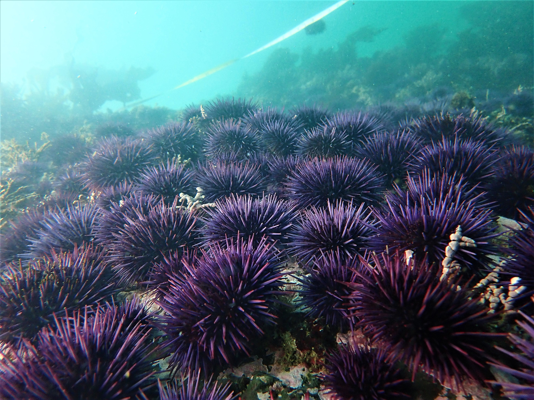 "Purple sea urchins — the ""cockroaches of the sea"" — thrive in a hotter world, and they devour giant kelp forests."