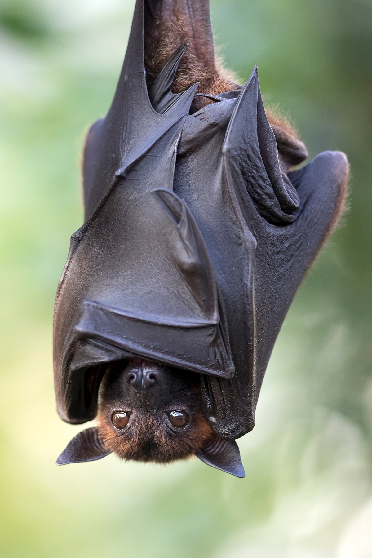 Flughund, Flying Fox