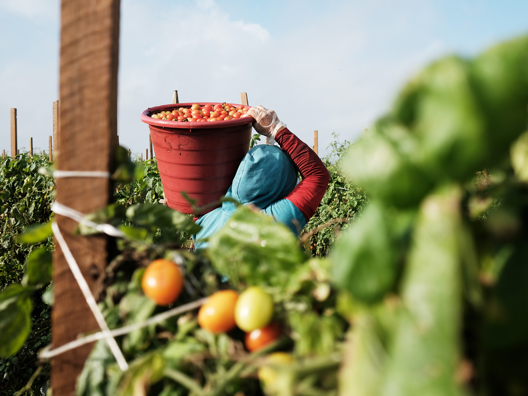 IMMOKALEE, FLORIDA - FEBRUARY 19: Workers pick tomatoes at a farm owned and operated by Pacific Tomato Growers on February 19, 2021 in Immokalee, Florida. The workers, who are in the country on an agricultural visa, are mostly from Mexico. The agricultural community in Florida is vital to the state's economy and has had to adapt to health measures during the Covid-19 outbreak in order to continue their operations. Workers at Pacific Tomato Growers farms are tested regularly, provided with face coverings, get daily temperature checks and have access to hand washing stations. Workers for the company are also part of the Fair Food Program which ensures that workers receive fair wages and better working conditions in the tomato fields. The fair Food Program was begun by the Coalition of Immokalee Workers in 2010. (Photo by Spencer Platt/Getty Images)