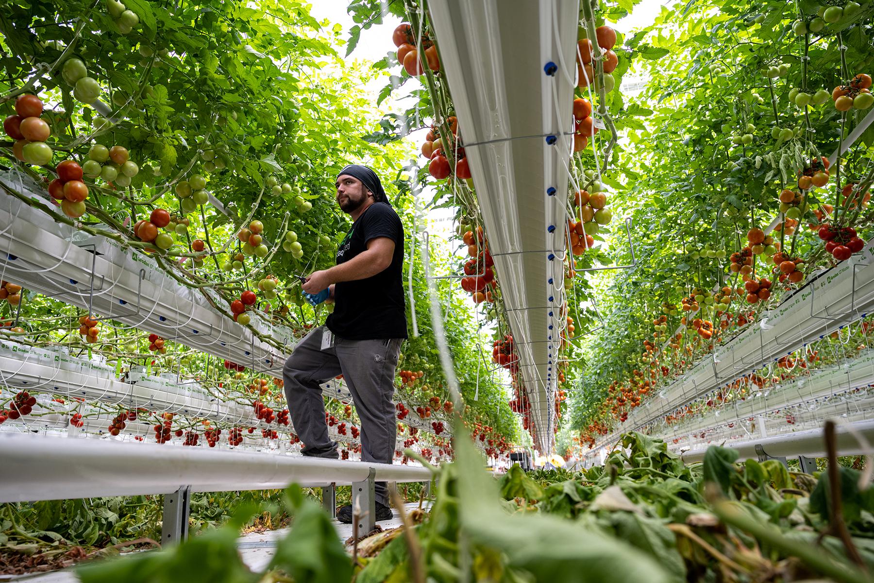 MOREHEAD, KY - 15 GIUGNO: Michael Hurak, un dipendente di Appharvest, taglia le piante di pomodoro all'interno di una fila della serra occidentale di Appharvest il 14 giugno 2021 a Morehead, KY. (Foto di Jon Cherry per Rolling Stone)