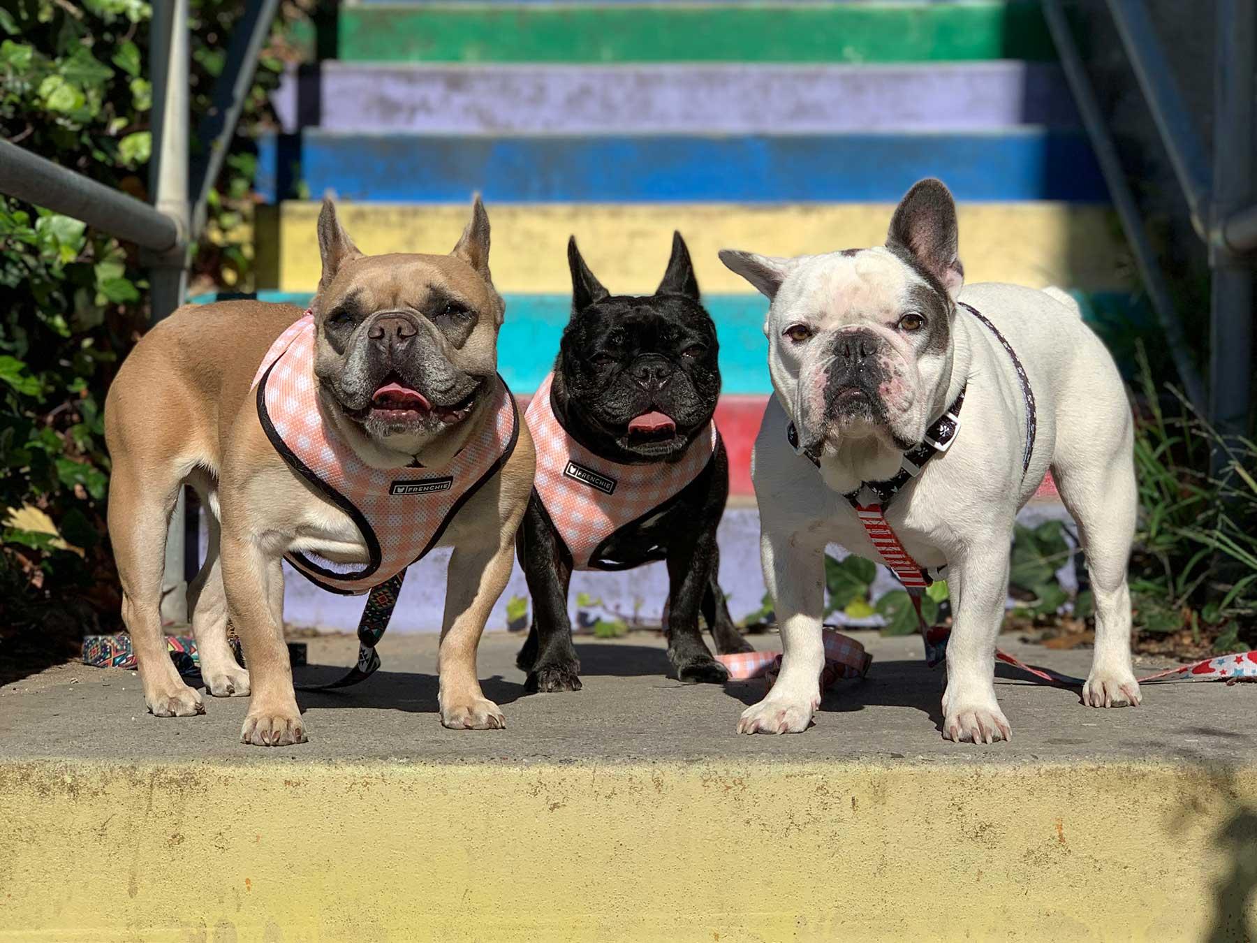 Lady Gaga's dog's; Koji, Asia and Gustav.